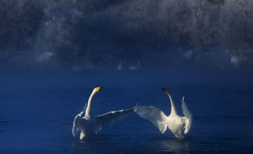 «Лебединый танец» — Лебединый заказник на Алтае