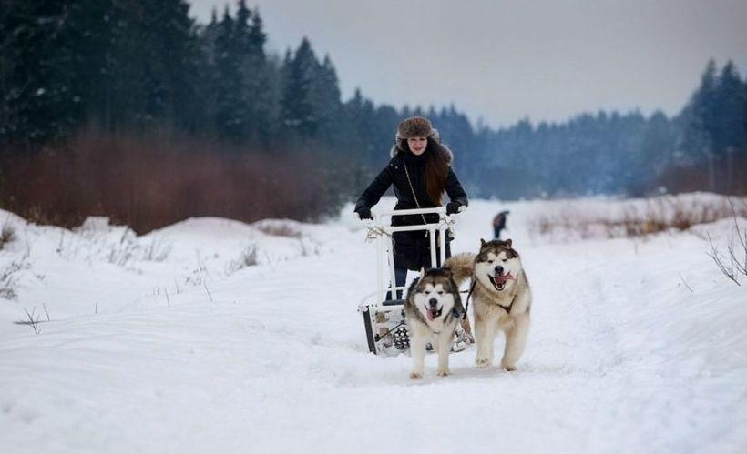 Катание на собачьих упряжках в окрестностях Петербурга