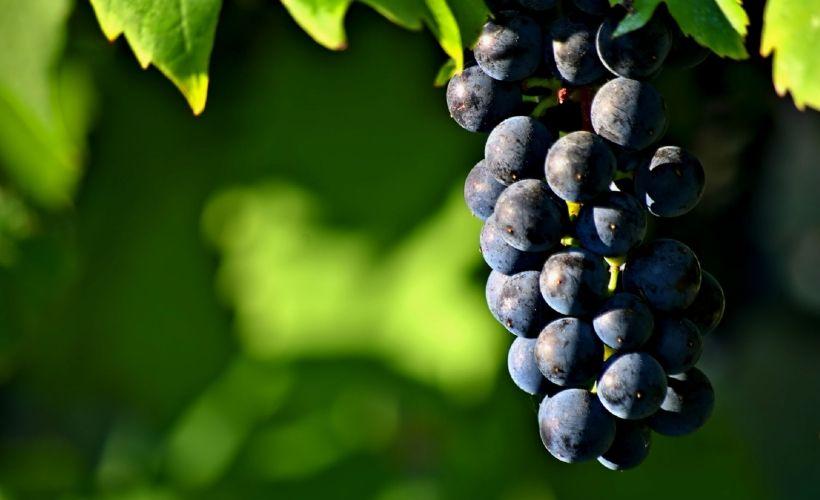 Золотая гроздь винограда