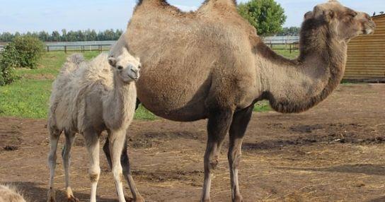 Ферма верблюдов  Laidoya